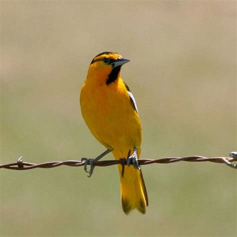 7 best images about birds bullock s oriole on pinterest
