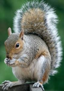 all about squirrels effective wildlife solutions