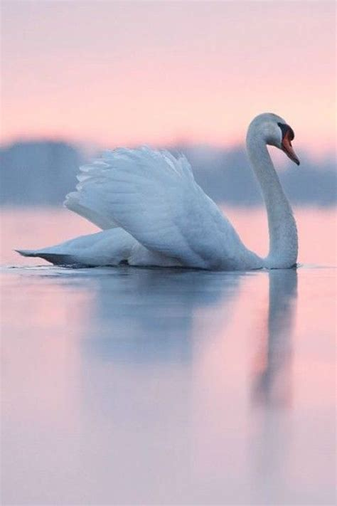 Swan Pink 7 17 best images about nature heals on beautiful sunset nature photography and