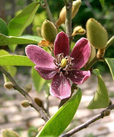 Tanaman Hias Cempaka Kelopak Ungu tanaman cempaka mulya ungu purple magnolia figo jual