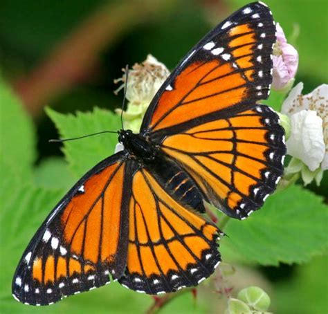 the butterfly fly away butterfly pict