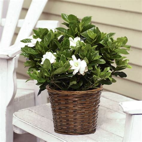 gardenia  basket flowering plants house plants