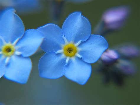 file forget me not closeup 2005 01 jpg wikipedia