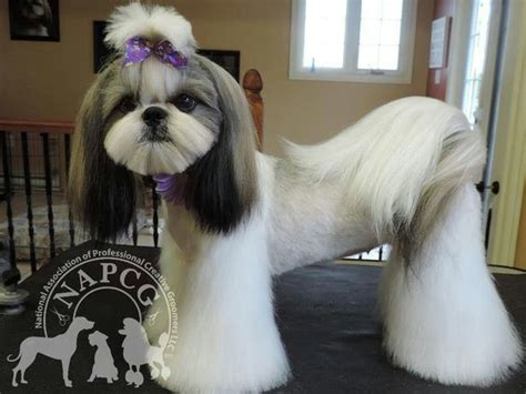 haircuts for shih tzus males photos of shih tzu haircuts haircuts models ideas