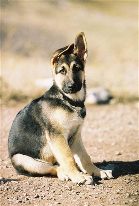 german shepherd puppies ears german shepherd puppy ears jpg