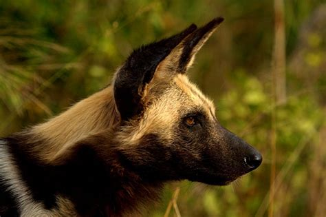 are dogs endangered endangered img 5334 u bell by arno meintjes wildlife flickr photo