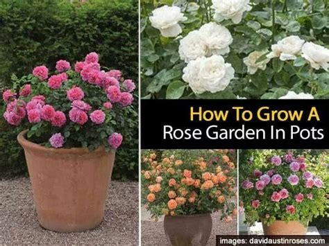 roses garden roses and pots on pinterest