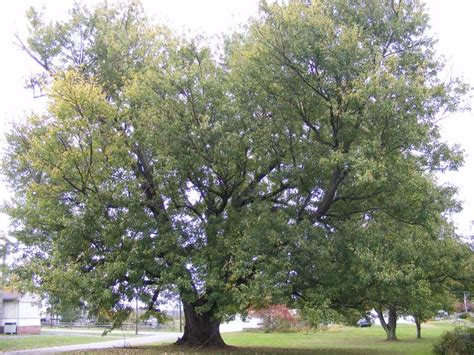 maryland maple trees silver maple search trees silver