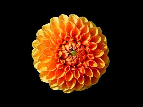 Orange Flowery 22 types of orange flowers pictures flowerglossary