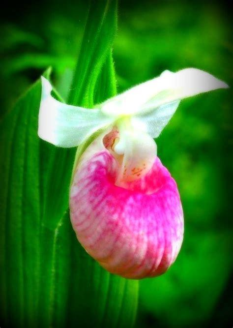 pink slipper flower pink slipper crochet flower