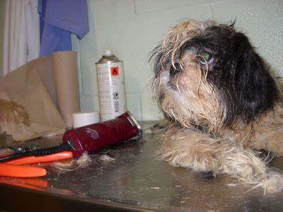 matted shih tzu grooming a matted shih tzu breeds picture