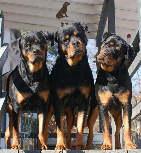 owning a rottweiler 12 reasons why you should never own rottweilers