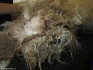 With Matted Fur by Shih Tzu Puppy Found In 2kg Of Matted Fur Has Found A New