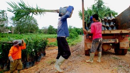 Bibit Kecambah Cengkeh produesen benih harus membidik petani perkebunannews