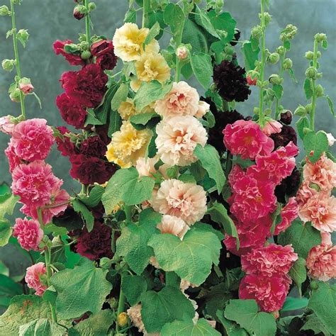 Alcea Rosea Summer Carnival Mixed Colors Perennial Seeds Flowers In The Garden Of