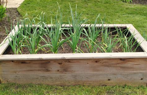 Garlic Garden tips for growing garlic