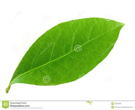 imagenes hojas de sen hoja del laurel imagen de archivo imagen de alto objeto