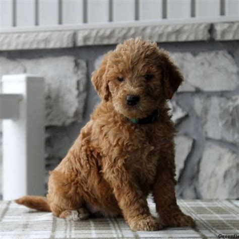 mini labradoodle puppies for sale labradoodle puppy labradoodle puppies for sale greenfield puppies