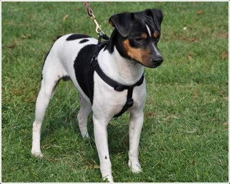 Brazilian Terrier - Facts, Pictures, Breeders, Puppies ...