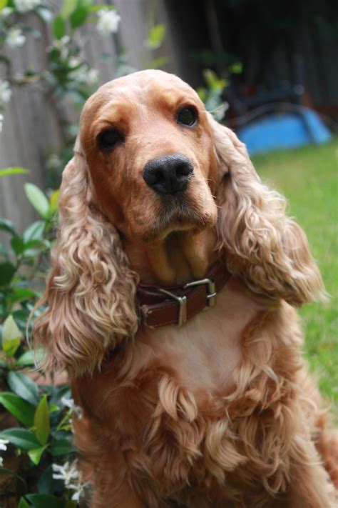 cocker spaniel cocker spaniel picture and images