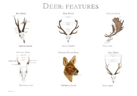 deer breeds deer species gallery