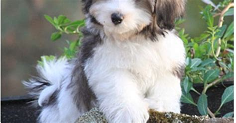 are havanese puppies hypoallergenic do hypoallergenic dogs still shed 28 images non