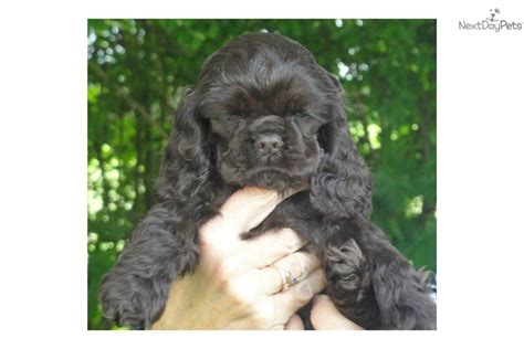 puppies for sale in upstate ny meet choco a cocker spaniel puppy for sale for 800 cocker spaniel pups ch line