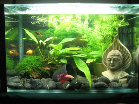 betta aquascape betta aquascaping betta and other tropical fish pinterest