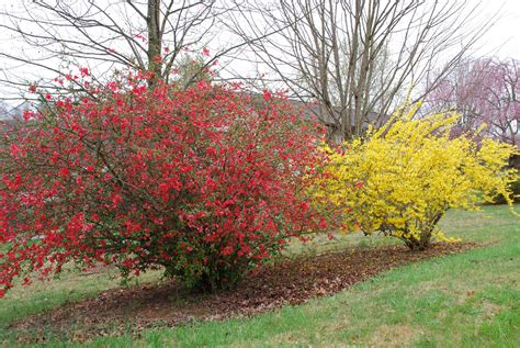 pruning flowering quince flowers ideas for review
