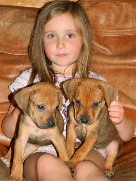 registered rhodesian ridgeback puppies for sale rhodesian ridgeback puppies for sale bude cornwall pets4homes