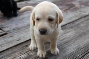 Lab Puppies Yellow Lab Puppy Flickr Photo