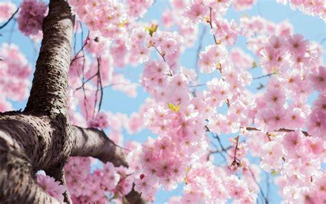 imagenes flores de cerezo imagen de flores de cerezo para fondo de pantalla hd