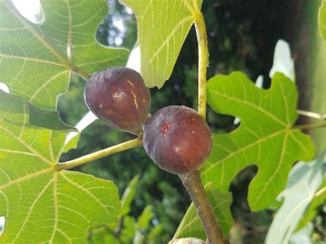 figs  ripening home garden information center