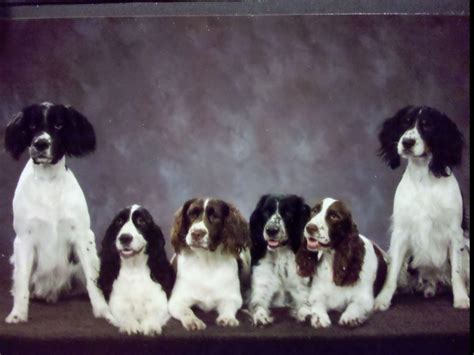 springer spaniel puppies for sale in mn springer puppies mn breeds picture