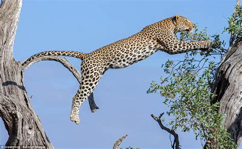 Leopard Bird kruger national park leopard climbs tree with fresh kill