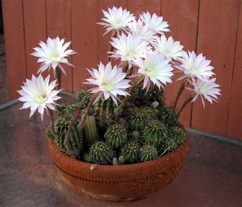 fiori di cactus piante le piante grasse con fiori quali scegliere