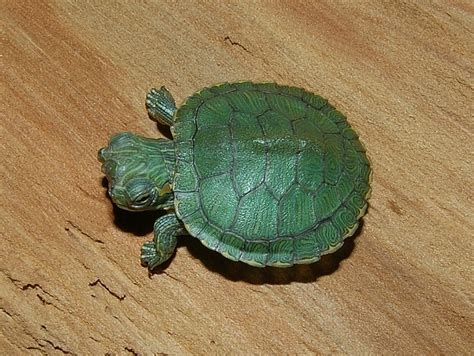 Kura Yellow Belly deformed turtle tortoise thread kaskus archive