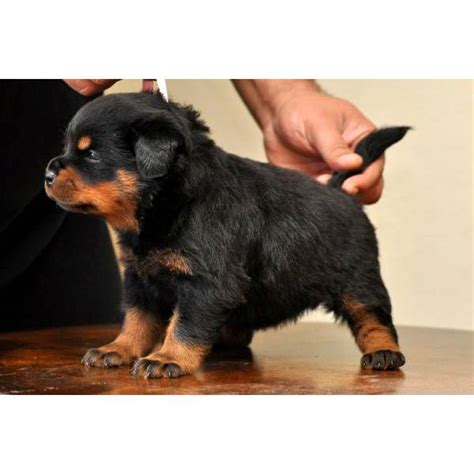 how to your rottweiler puppy with simple commands rottweiler cucciolo breeds picture