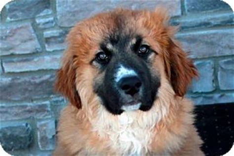 leonberger mix puppies for sale bernard puppies adopt a bernard breeds picture