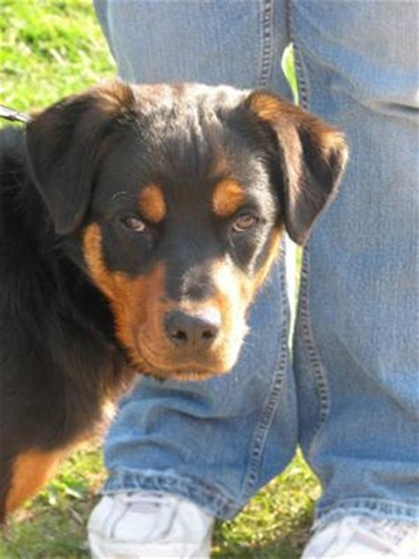 rottweiler rescue utah rottweiler rescue utah image search results breeds picture