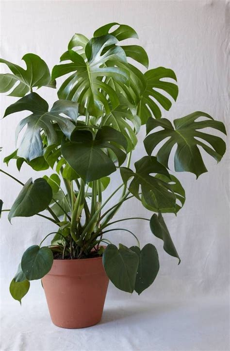 how to care for monstera deliciosa plants indoors fresh