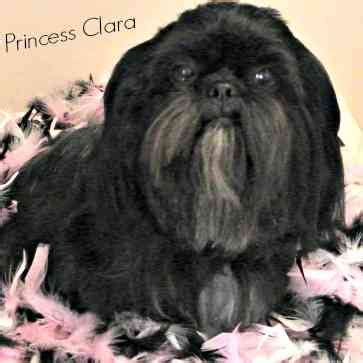 black teacup shih tzu quotes by clara shih like success