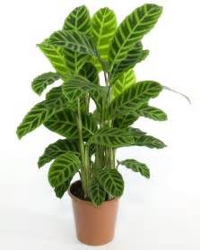 house plant types 7 kwiat 243 w calathea kalatea doniczkowa pielęgnacja