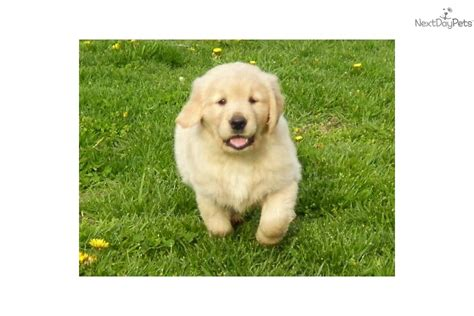 golden retriever breeders kentucky golden retriever for sale for 400 near kentucky e89213cd 5c81