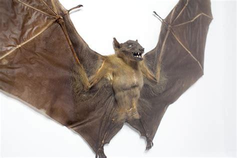Horror Home Decor Taxidermy Bat Large Fruit Bat Framed Teeth Horror Skull Oddity