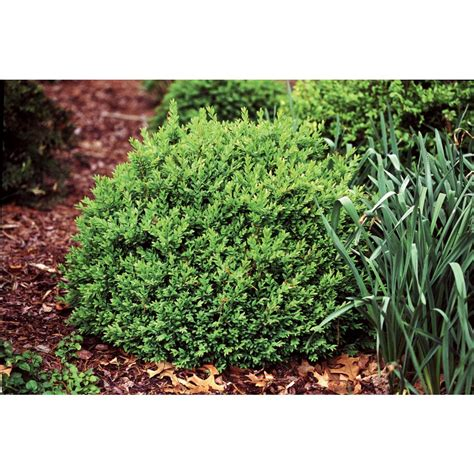 proven winners 1 gal boxwood buxus live