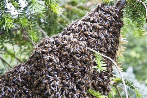 hilfe im garten bienenschwarm im garten was tun wir sagen es euch