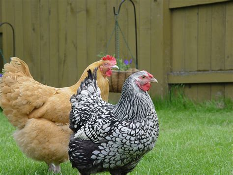 Backyard Chickens Michigan Chicken Podcast Right To Farm Act Ends Protection