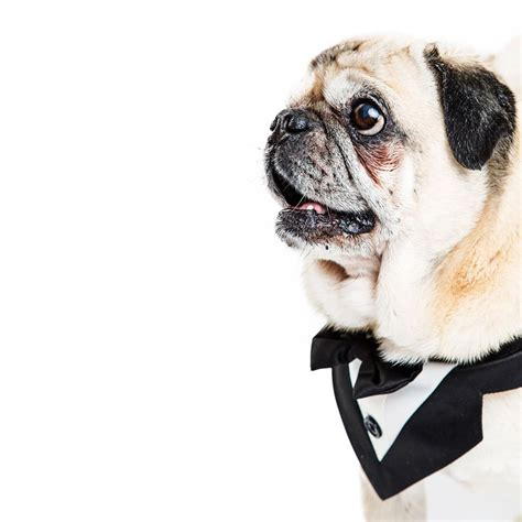 tuxedo for pugs used government funds to buy tuxedo for pug