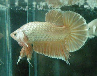 Pakan Ikan Cupang Besar budidaya ikan cupang hias cupang pilihan kualitas kontes